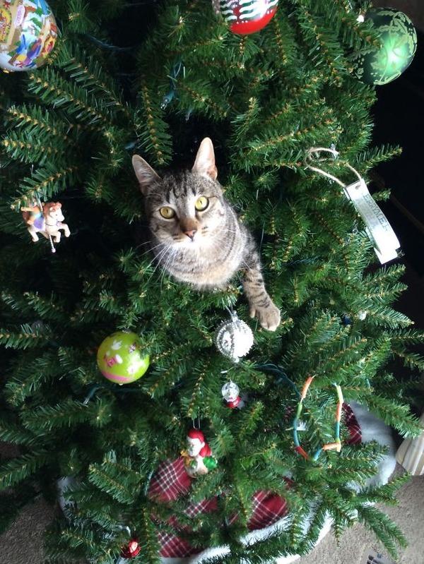 猫、あらぶる!クリスマスツリーに登る猫画像 (16)