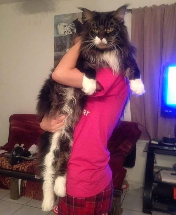 でかすぎる!大型のイエネコ長毛種メインクーン画像【猫】 (17)