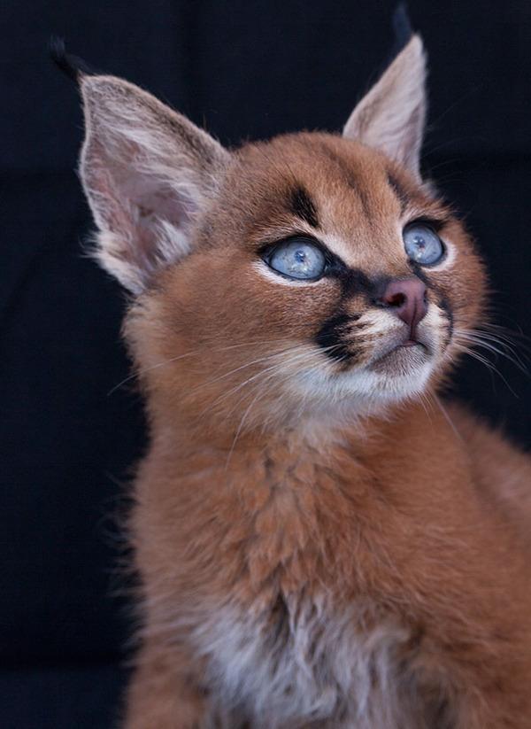 カラカルの画像!麻呂眉と耳の房毛が特徴的なネコ科動物 (9)