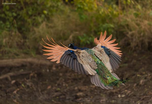 孔雀が飛ぶ姿が神々しすぎる…!空飛ぶクジャクの画像 (8)