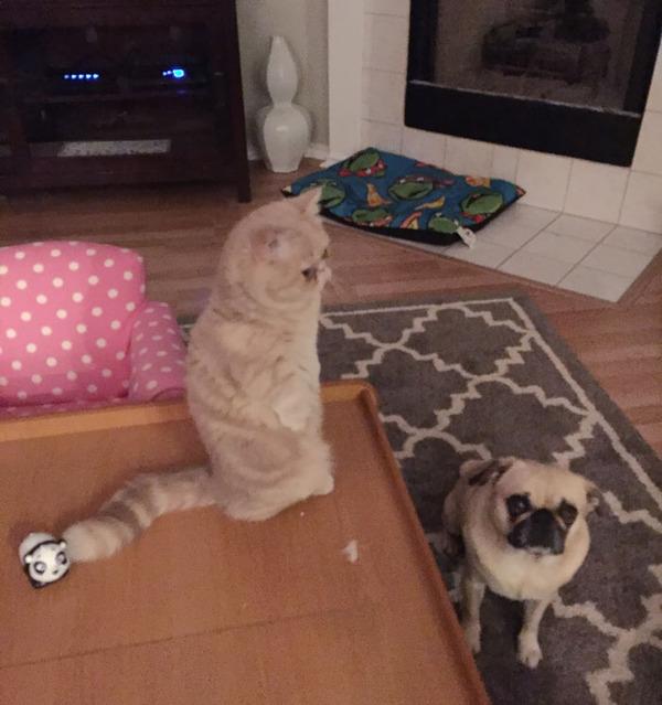 二足で直立する猫 6
