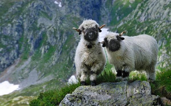 ヴァレーブラックノーズシープ!モフモフな羊 (8)