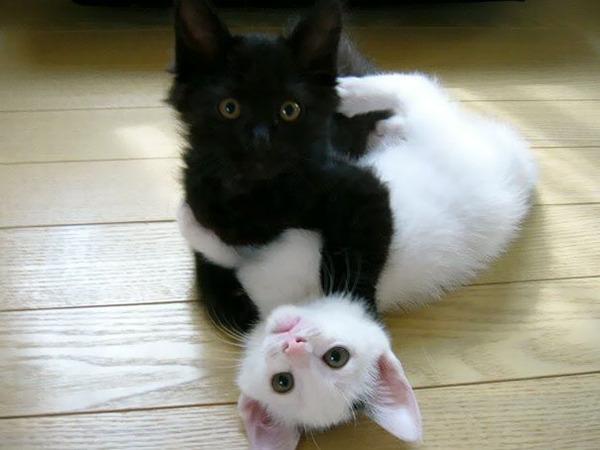 黒猫と白猫どっちが好き?どっちも可愛すぎ【猫画像】 (11)