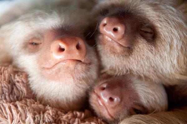 癒し系動物ナマケモノの赤ちゃんが超かわいい画像 (5)