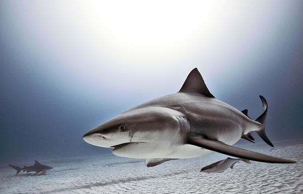 たくさんのサメの海中写真 Jorge Cervera Hauser