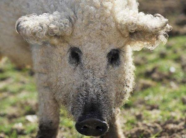 羊みたいな体毛を持った豚『マンガリッツァ』。モフモフ! (9)