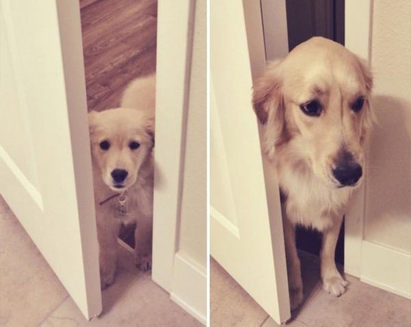 大きくなるわんこ!成長する愛犬のビフォーアフター画像! (2)