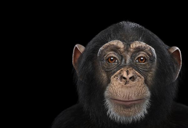 チンパンジーの肖像写真、スタジオポートレート
