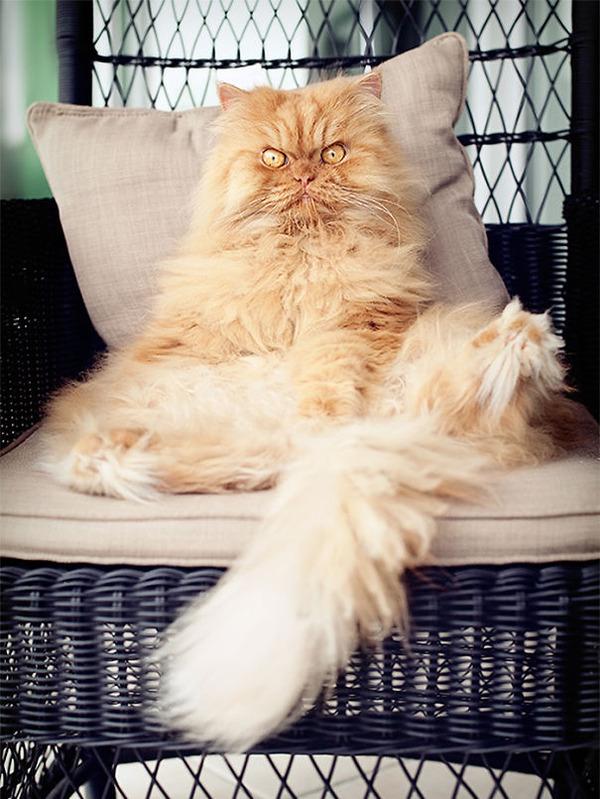 綿菓子フワフワ!モフモフしたくなる長毛種の猫画像 (10)