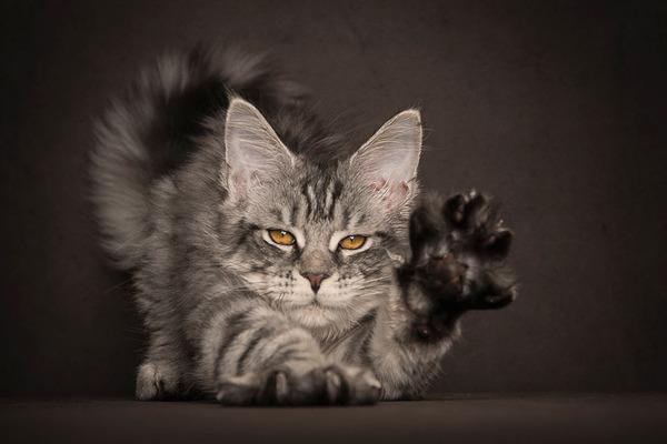 メインクーン画像!気品ある毛並みに威厳ある風貌の猫 (26)