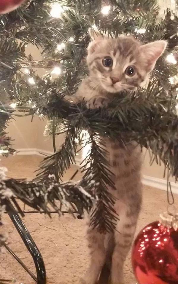 猫、あらぶる!クリスマスツリーに登る猫画像 (11)
