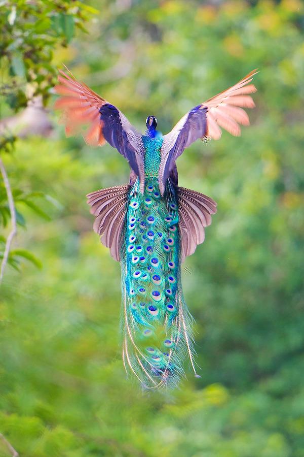 孔雀が飛ぶ姿が神々しすぎる…!空飛ぶクジャクの画像 (9)
