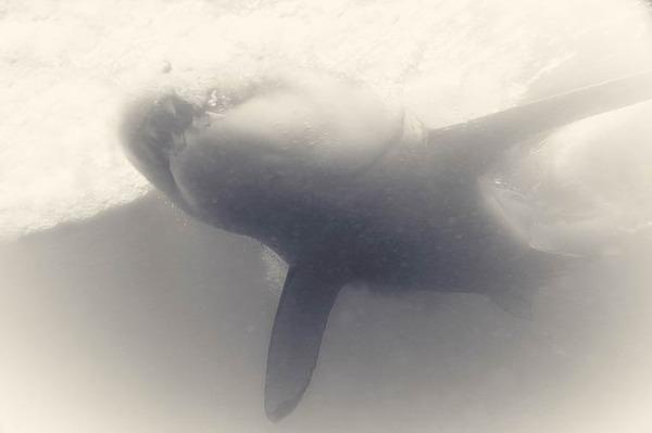 美しいホホジロザメの写真 (2)