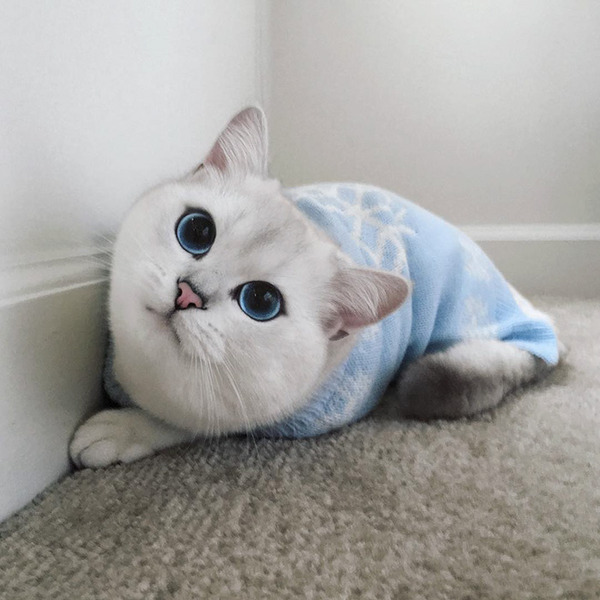 美しい…。綺麗な青い瞳をした白猫が話題!【猫画像】 (17)