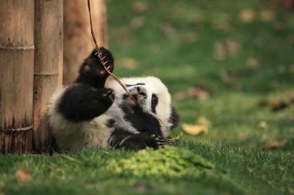 かわいいジャイアントパンダの画像 9