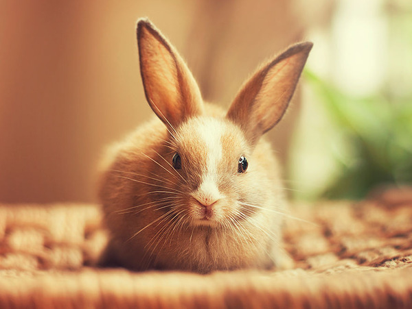 こっちを見るウサギ