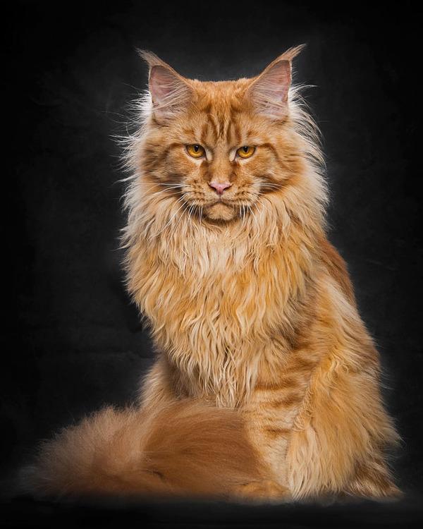 メインクーン画像!気品ある毛並みに威厳ある風貌の猫 (29)