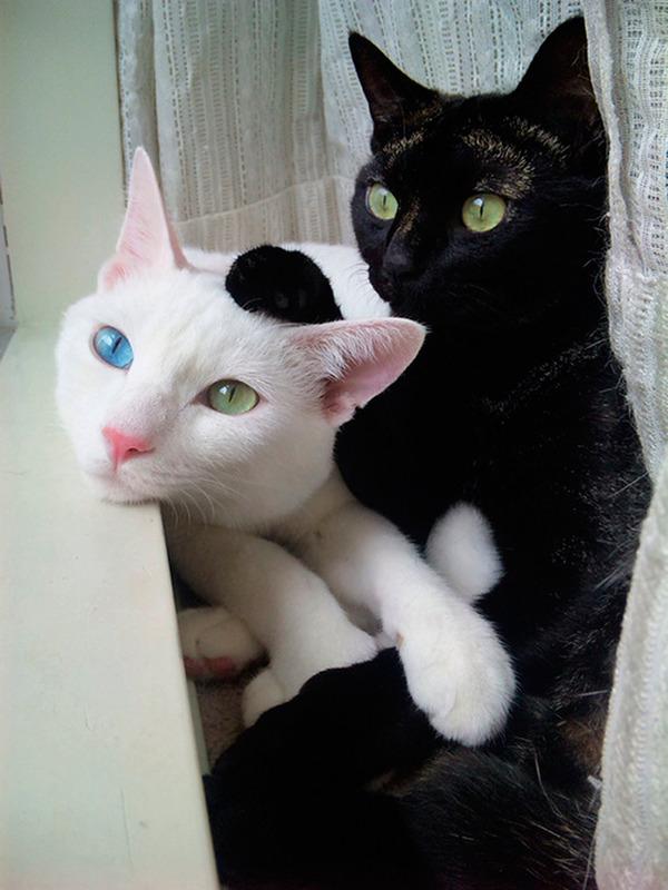 黒猫と白猫どっちが好き?どっちも可愛すぎ【猫画像】 (5)