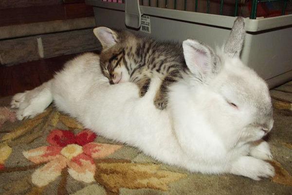 ウサギと子猫のお昼寝