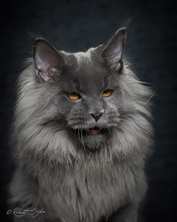 メインクーン画像!気品ある毛並みに威厳ある風貌の猫 (8)