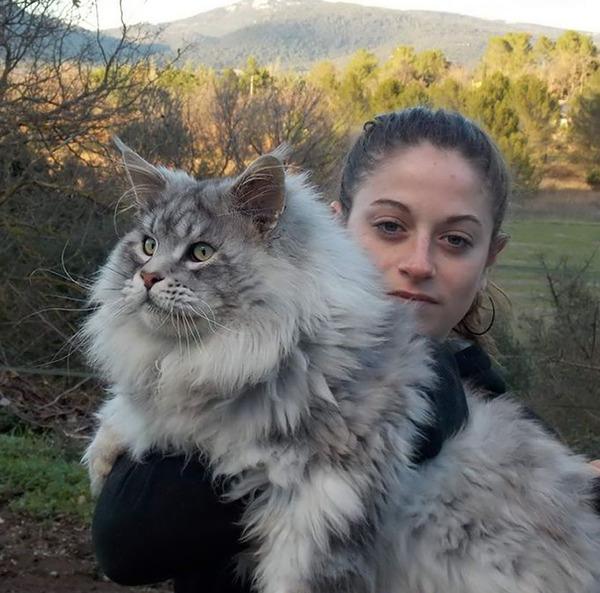 でかすぎる!大型のイエネコ長毛種メインクーン画像【猫】 (35)