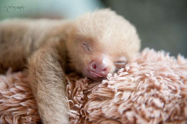 癒し系動物ナマケモノの赤ちゃんが超かわいい画像 (14)