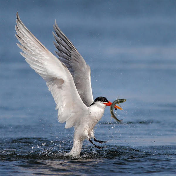 もう逃げられない…!鳥が魚をパックリ食べちゃう瞬間的画像 (9)