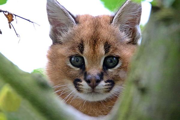 カラカルの画像!麻呂眉と耳の房毛が特徴的なネコ科動物 (32)