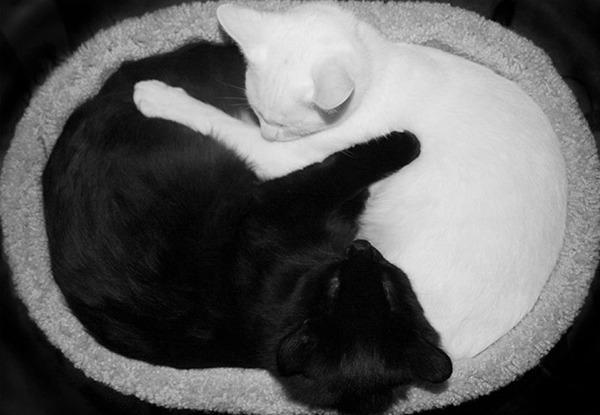 黒猫と白猫どっちが好き?どっちも可愛すぎ【猫画像】 (12)
