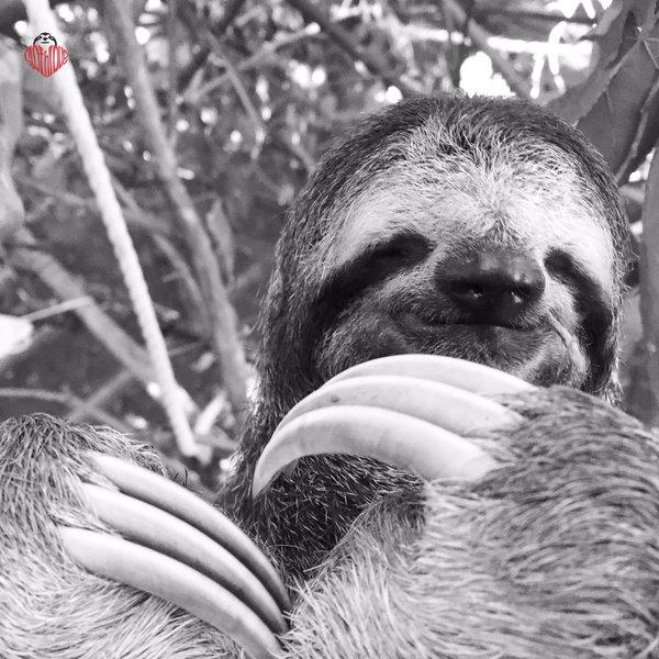 怠け者ならナマケモノに親近感を感じるはず!【ナマケモノ画像】 (9)