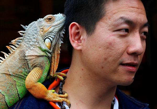 珍しいペット特集 イグアナ,台湾