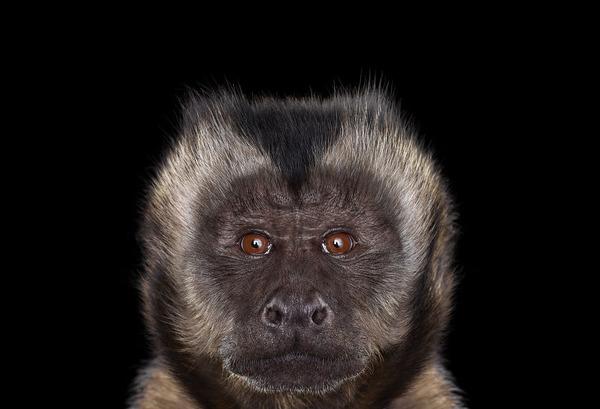 オマキザルの肖像写真、スタジオポートレート