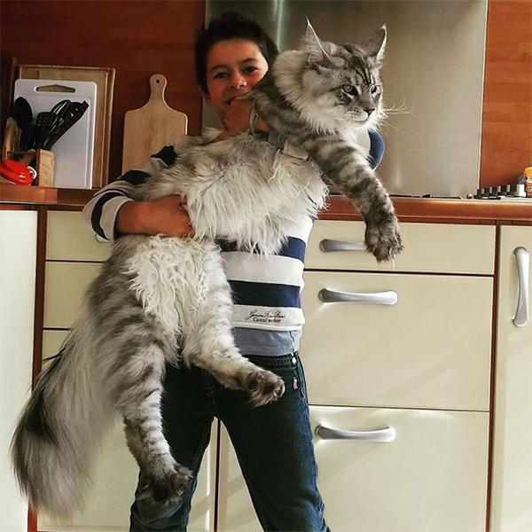 でかすぎる!大型のイエネコ長毛種メインクーン画像【猫】 (22)