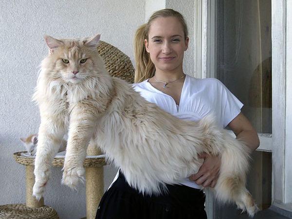 でかすぎる!大型のイエネコ長毛種メインクーン画像【猫】 (42)