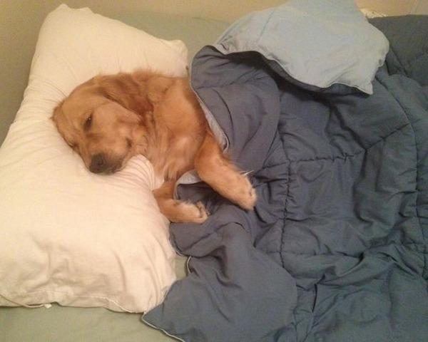 ベッドで寝る犬 かわいいおもしろ画像 28