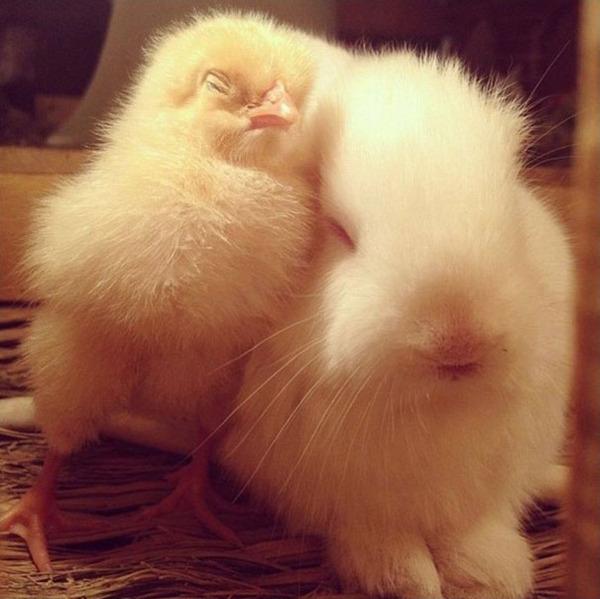 ウサギとひよこのお昼寝