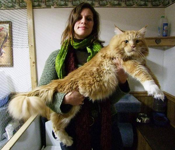 とても大きい猫の画像 22
