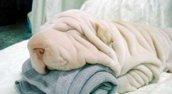 クシャクシャな犬