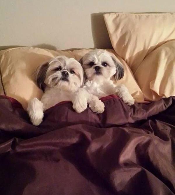 ベッドで寝る犬 かわいいおもしろ画像 20