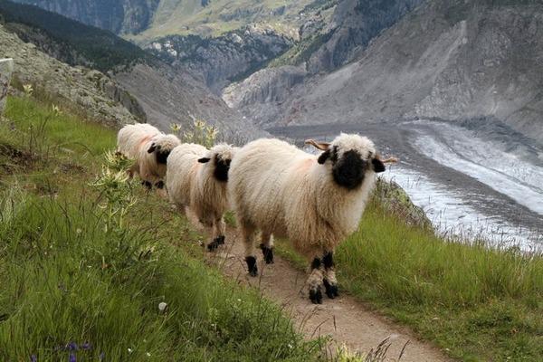 ヴァレーブラックノーズシープ!モフモフな羊 (10)