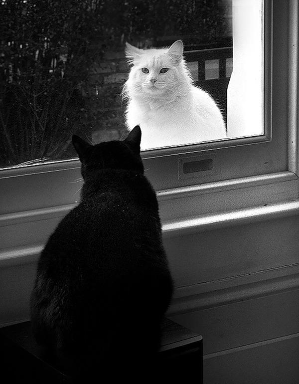 黒猫と白猫どっちが好き?どっちも可愛すぎ【猫画像】 (13)