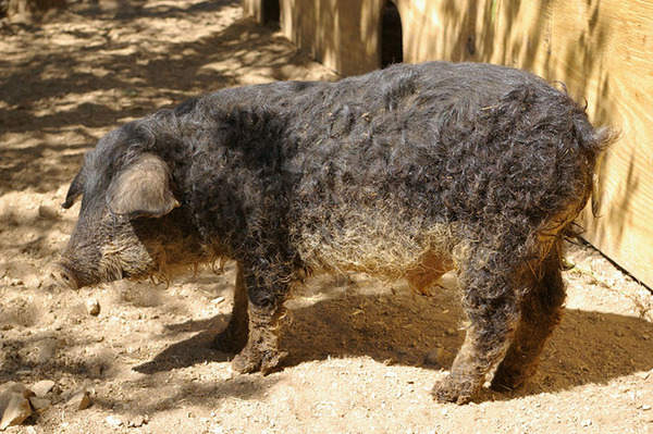 羊みたいな体毛を持った豚『マンガリッツァ』。モフモフ! (28)
