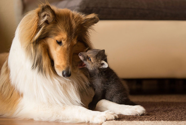 母の愛情を必要とする子狐に応える犬の優しさ
