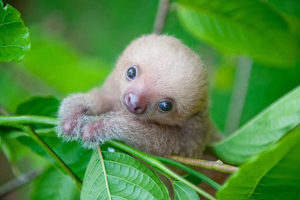 癒し系動物ナマケモノの赤ちゃんが超かわいい画像 (1)