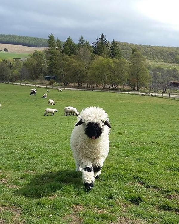 ヴァレーブラックノーズシープ!モフモフな羊 (15)
