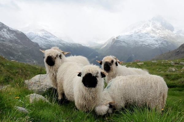 ヴァレーブラックノーズシープ!モフモフな羊 (13)