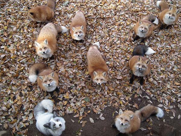 餌を欲しがる狐達