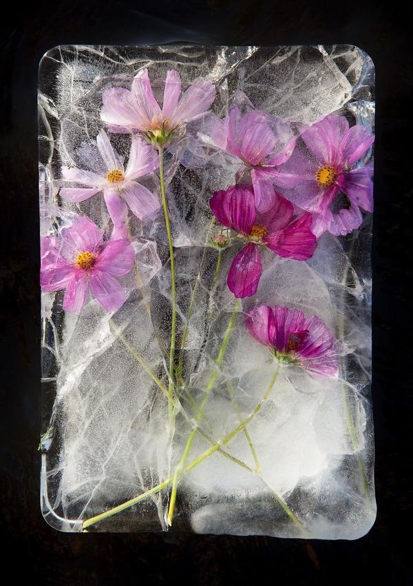 絵画的な美しさ。氷漬けになった花々の写真シリーズ (12)