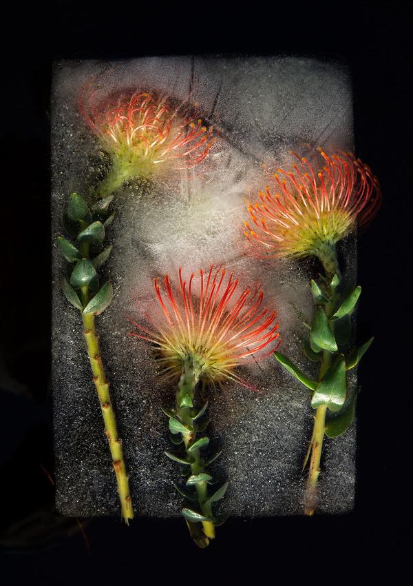 絵画的な美しさ。氷漬けになった花々の写真シリーズ (7)