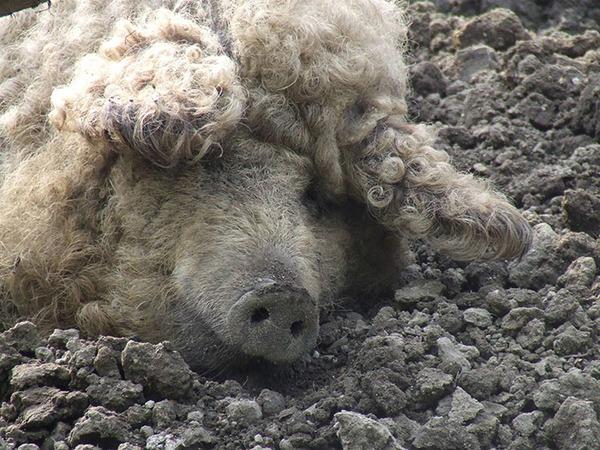 羊みたいな体毛を持った豚『マンガリッツァ』。モフモフ! (27)